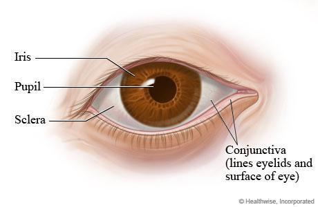 Ocular Anatomy Flashcards | Easy Notecards