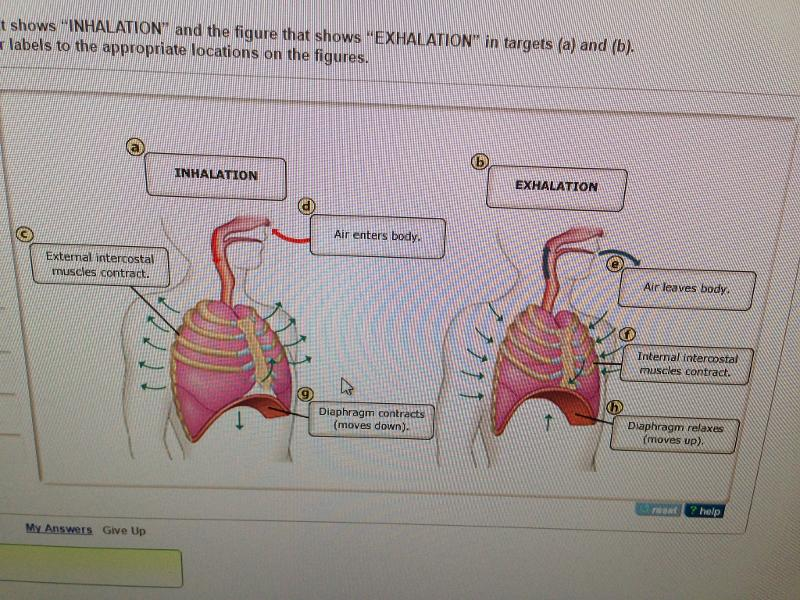 print chapter 22  respiratory system  mastering