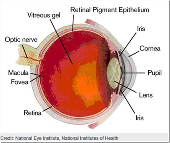 teh eye diagram label eye diagram label foeva ocular anatomy flashcards | easy notecards