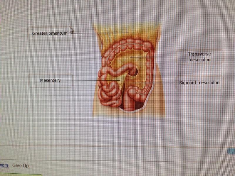 Chapter 23: Digestive System (Mastering) Flashcards | Easy
