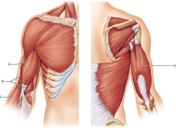 Af D Bac Ff on Unlabeled Muscle Diagram