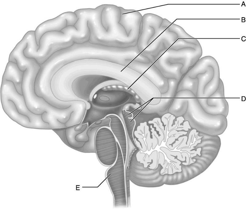 Print Central Nervous System Flashcards Easy Notecards