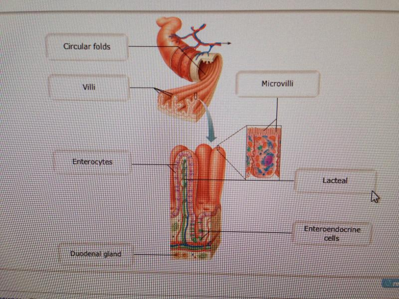 Chapter 23: Digestive System (Mastering) Flashcards | Easy Notecards