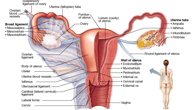 chapter 27: the reproductive system flashcards | easy notecards, Human Body