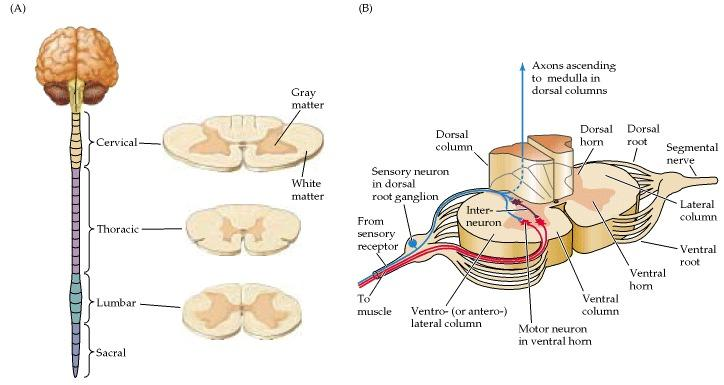 Neurons, the Spinal Cord and Spinal Nerves Flashcards ...
