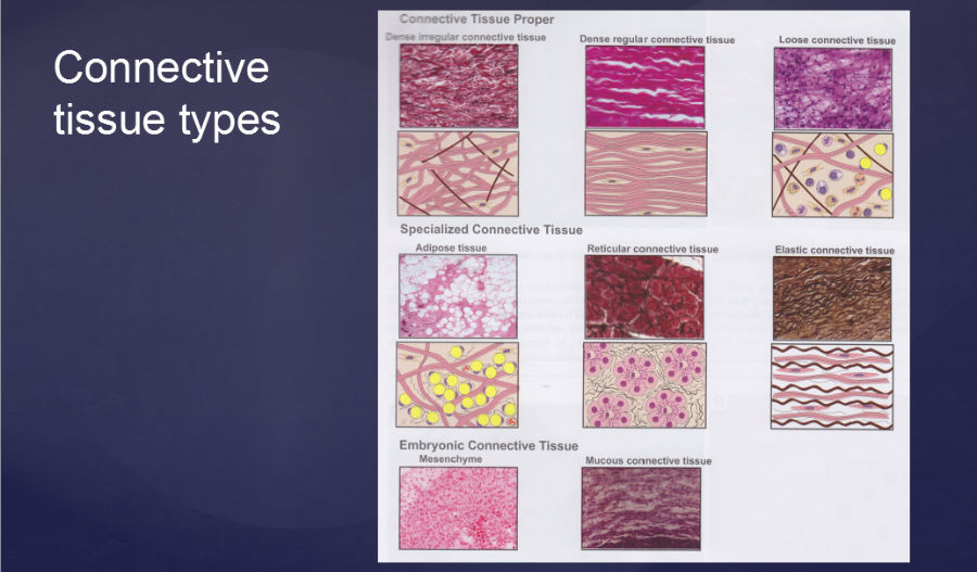 Lab: Histology - Connective Tissue flashcards   Quizlet
