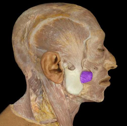 lateral pterygoid cadaver - photo #14