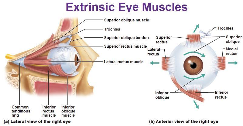 Eye Muscles Diagram Quiz Diy Enthusiasts Wiring Diagrams