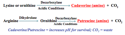 Lysine decarboxylase test reaction