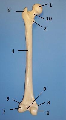 femur diagram quiz schematic diagrams  femur diagram quiz #11
